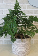 Rabbit Foot Fern 6''