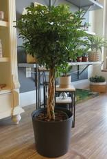Schefflera Arboricola 8''