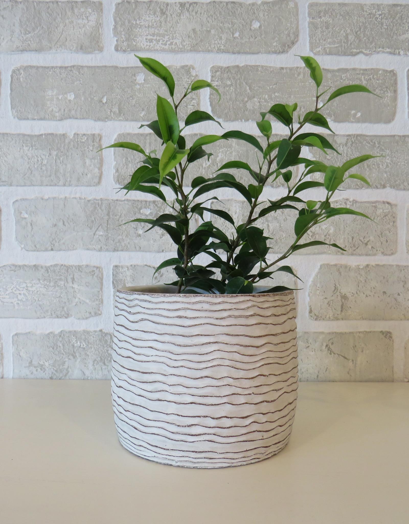 Ficus Benjamina 4''