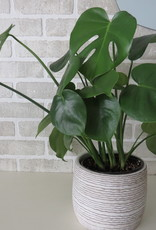 Philodendron Monstera 6''