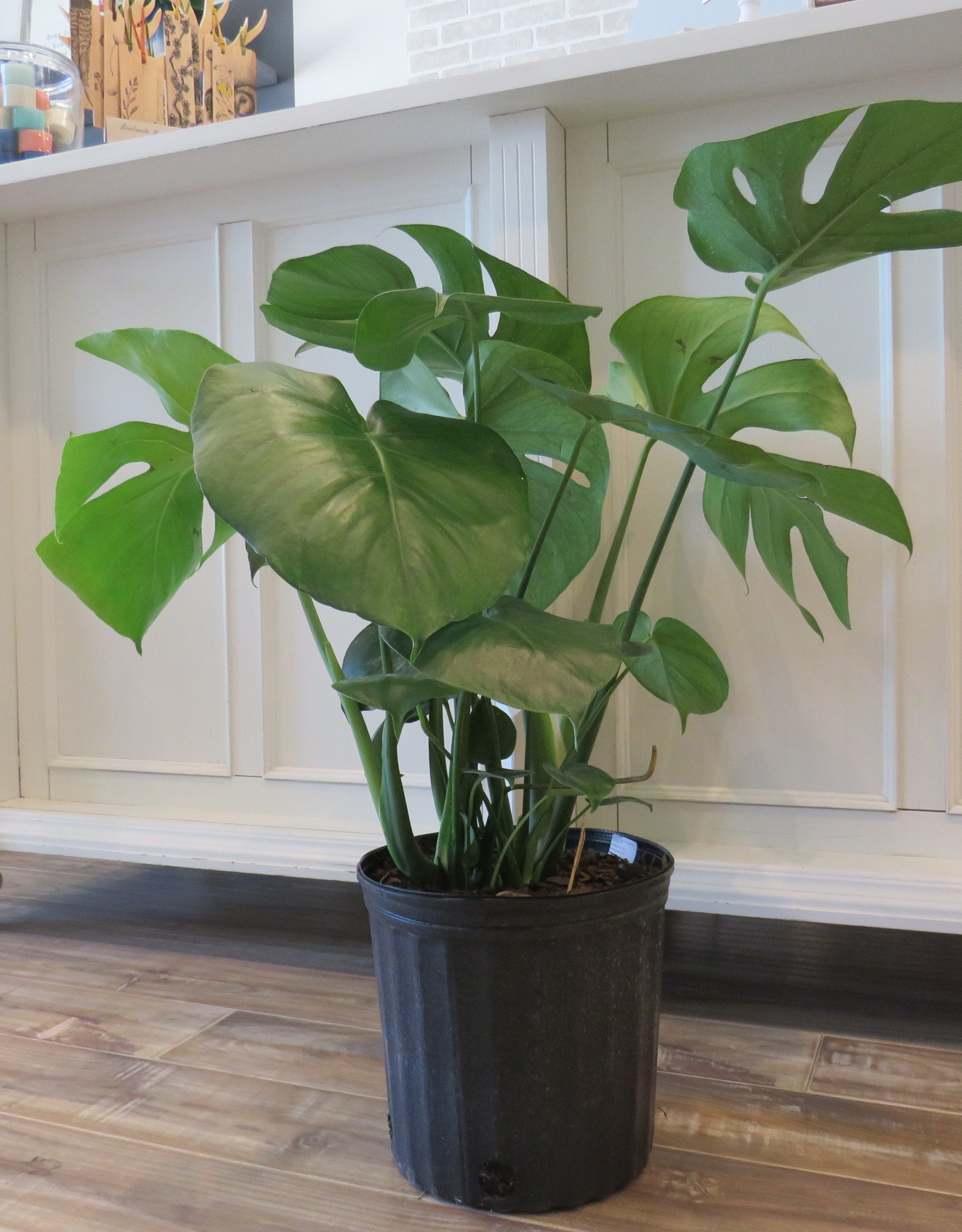 Philodendron Monstera 10''