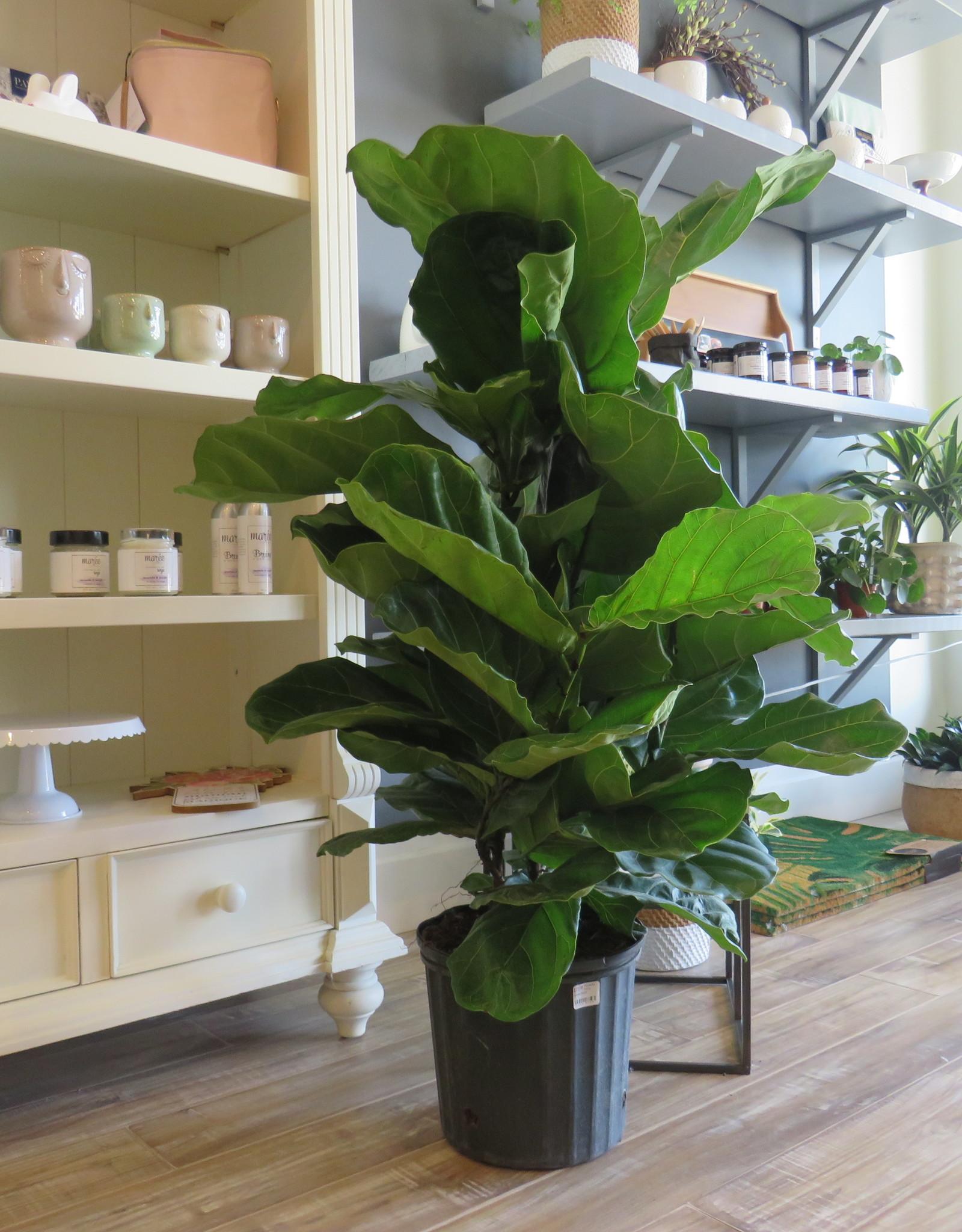 Ficus Lyrata Bush 10''