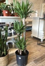 Yucca Cane 3'-2'-1'