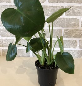 Philodendron Monstera 4''