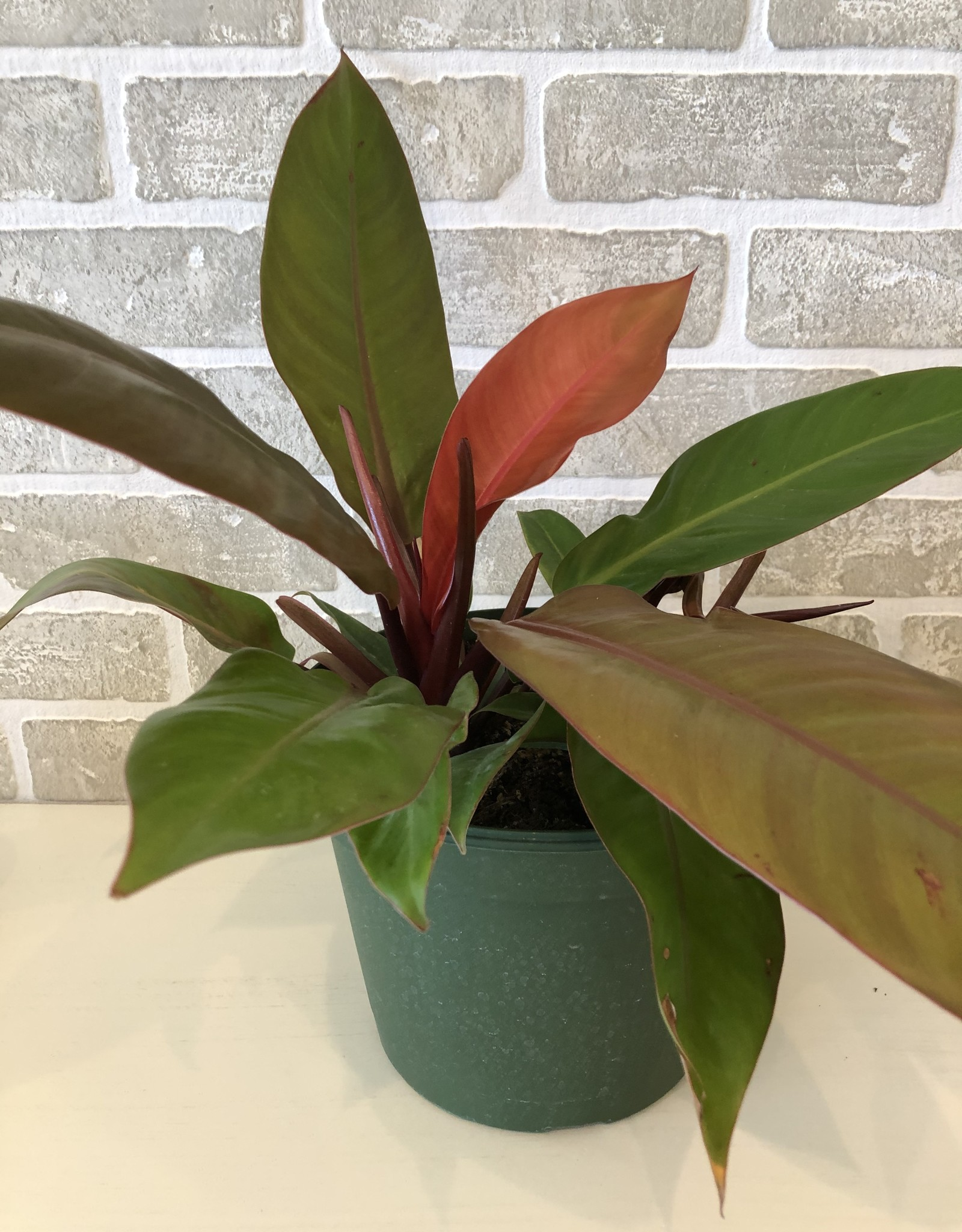 Philodendron Prince of Orange 8''