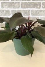 Philodendron McColley's Finale 8''