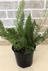 Asparagus Meyeri 6''