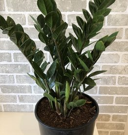 ZZ Plant 10''