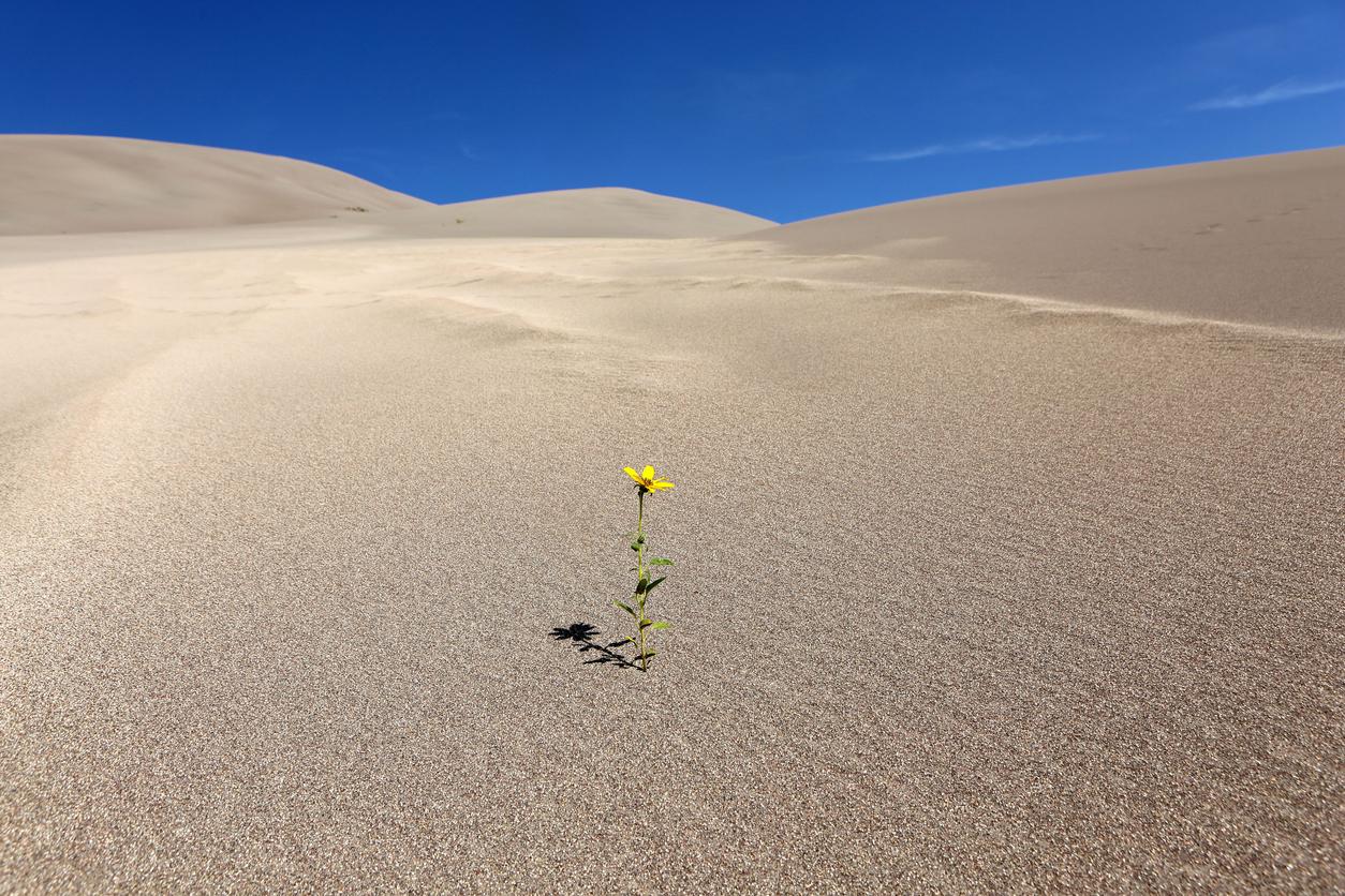 Zahara Desert Flower