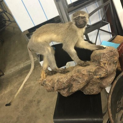African Monkey Taxidermy #YEL