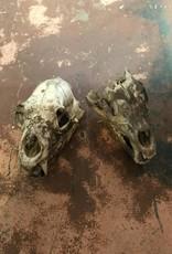 Bear Skulls