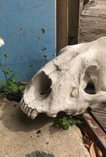 Saber-toothed Tiger skull cast