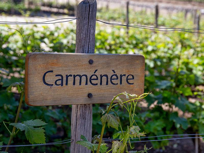 Carménère – The Lost Grape of Bordeaux
