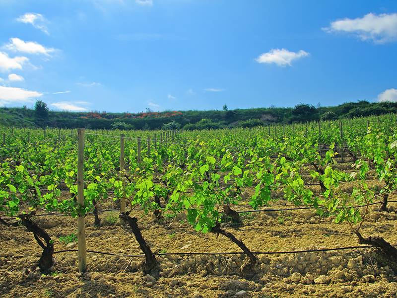 White Wines of Spain
