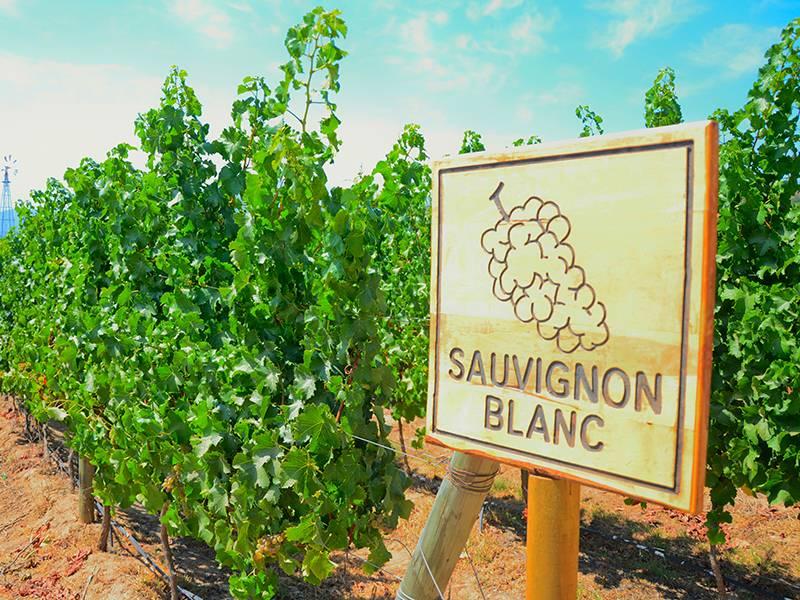 Exploring Sauvignon Blanc