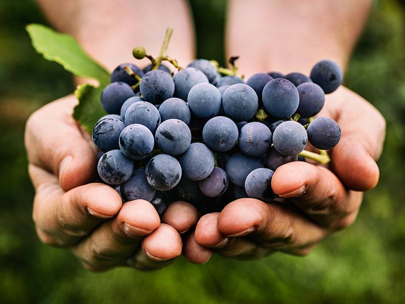 Where Do Grapes Come From?