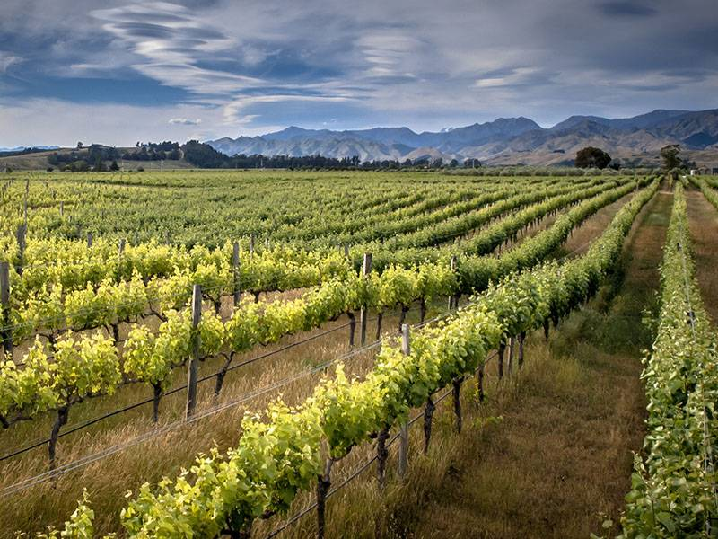 Why Is New Zealand Sauvignon Blanc So Popular?