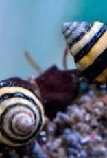 Bumble Bee Snails - Saltwater