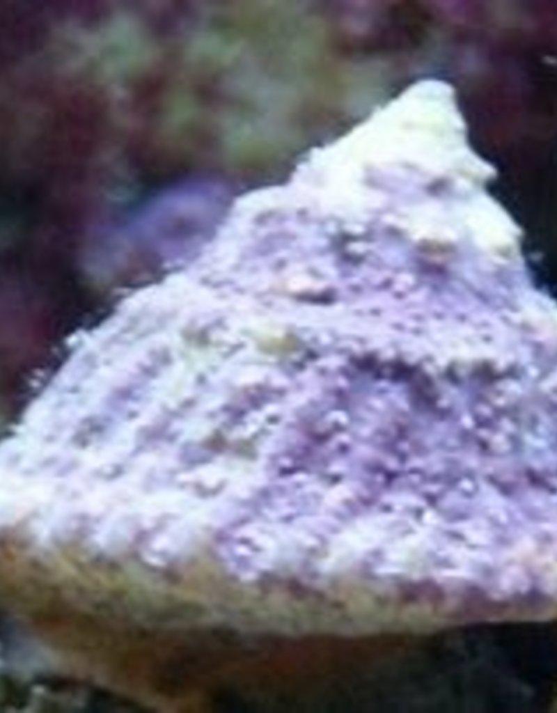 Astrea Snail - Saltwater