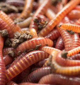 Red Wiggler Worms - 24 Pack