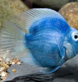 Rainbow Parrot Cichlid - Freshwater
