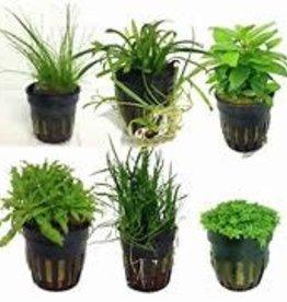 Live Aquatic Plant - Potted