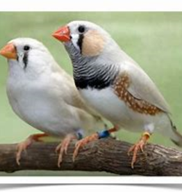 Chestnut Flanked Zebra Finch
