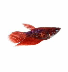 Female Betta - Freshwater