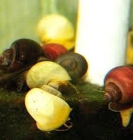 Assorted Snail - Freshwater
