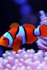 Percula Clownfish - Salt Water
