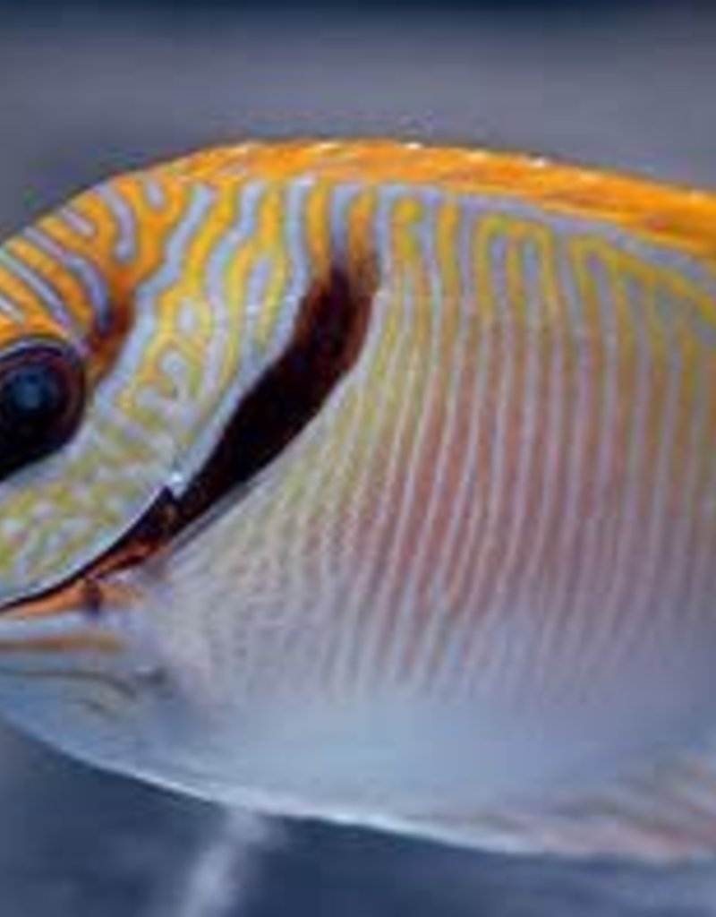 Scribbled Rabbitfish - Saltwater
