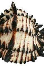 Zebra Conch - Saltwater