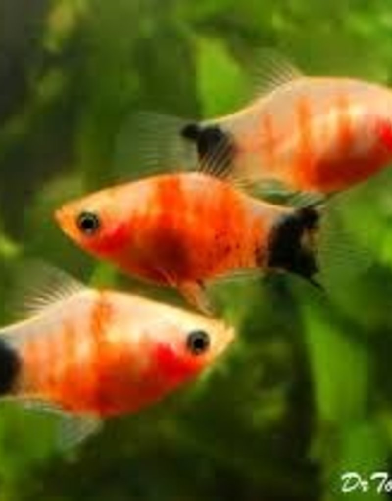 Tiger Mickey Mouse Platy - Freshwater