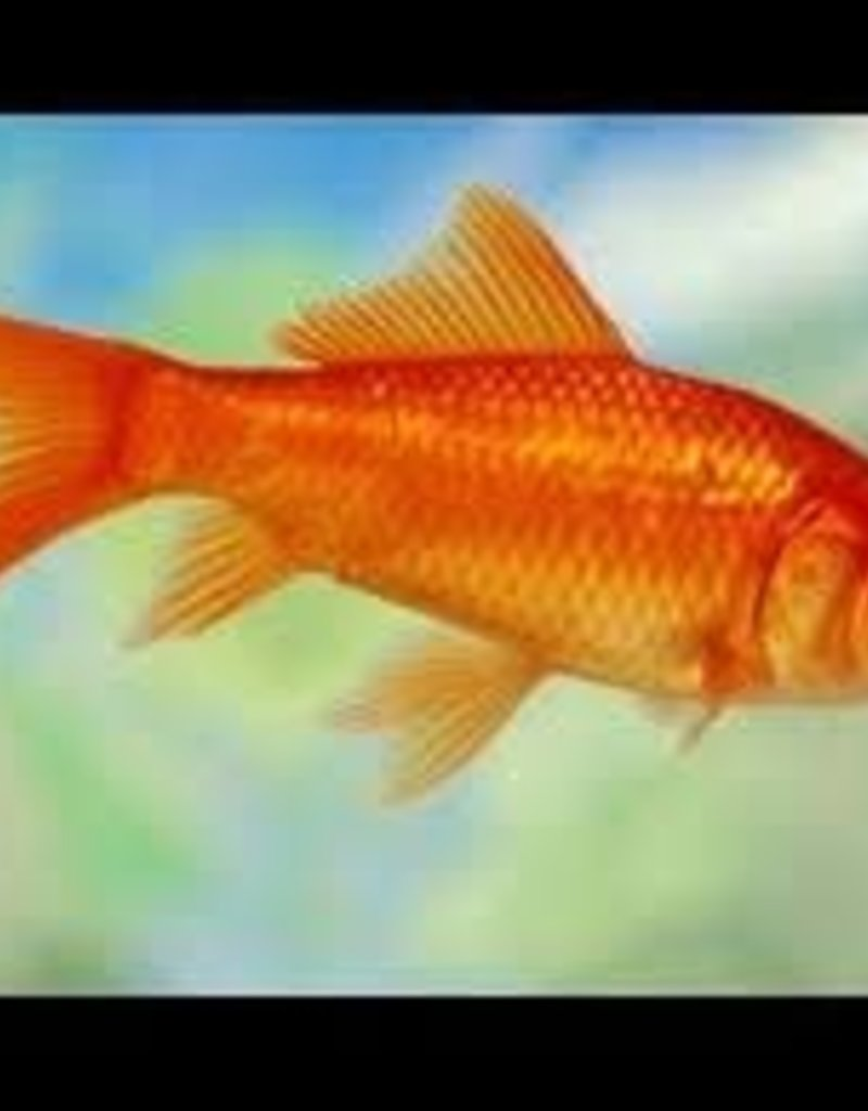 Comet Goldfish XL - Freshwater