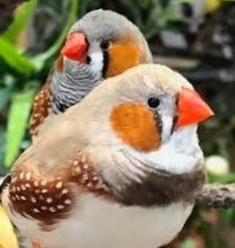 Beige Cheek Fancy Zebra Finch