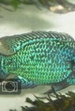 Neon Green  Jewel Cichlid - Freshwater