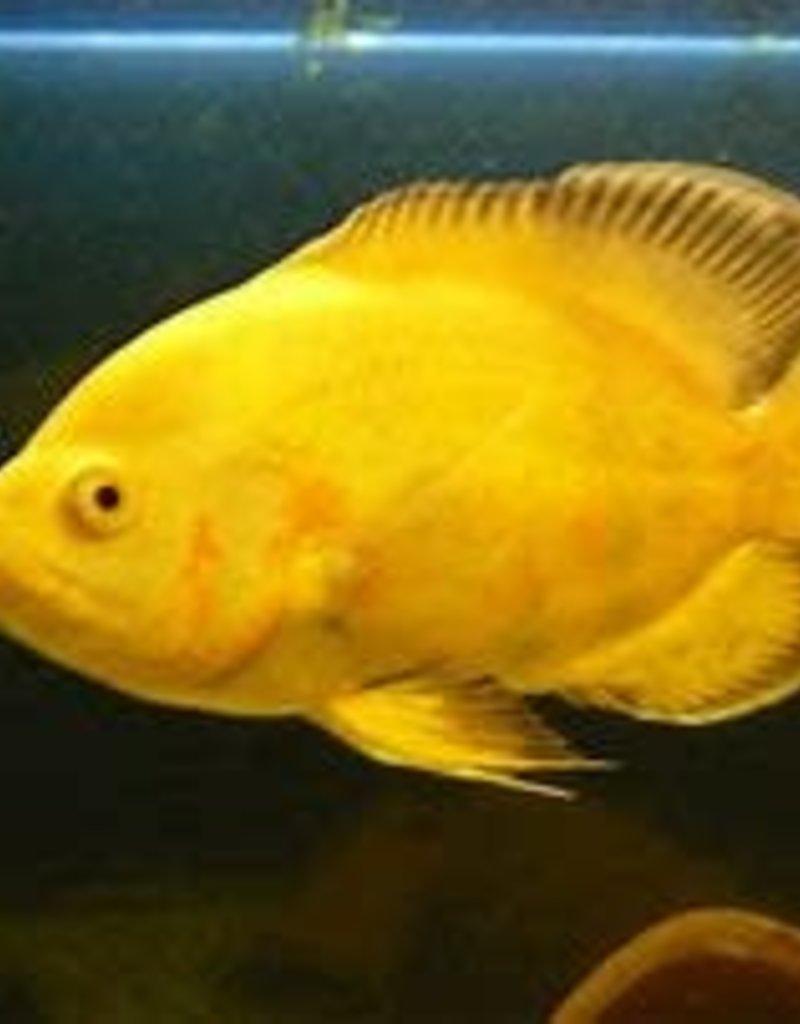 Lemon Oscar - Freshwater