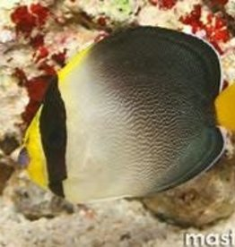 Vermiculated Angelfish - Saltwater