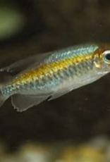Congo Tetra Female - Freshwater