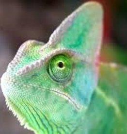 Chameleon - Veiled