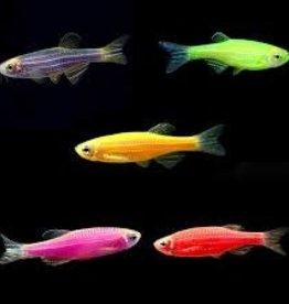 Glofish Danio - Freshwater