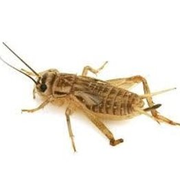 Crickets  (Qty 1000)