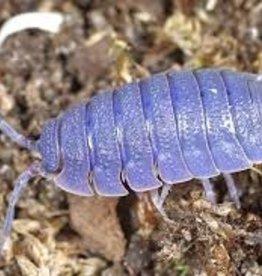 Isopod Wood Lice (Qty 25)