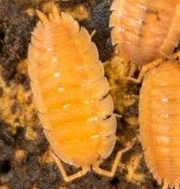 Isopod Scaber (Qty 15)