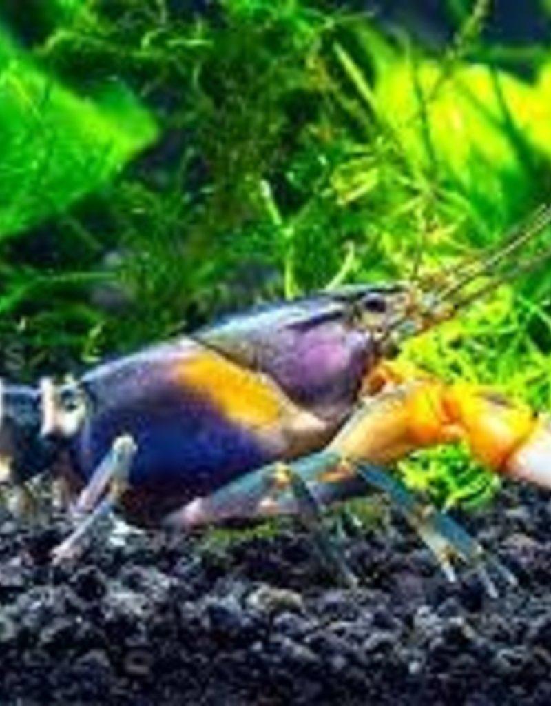 Assorted Crayfish - Freshwater