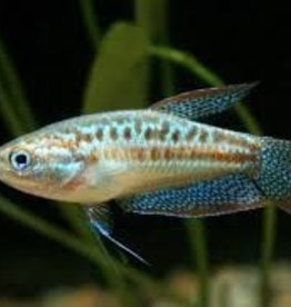 Pigmy Gourami - Freshwater