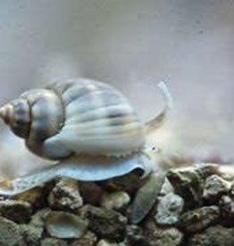 Nassarius Snail Large - Saltwater