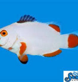 Maine Blizzard Clown Fish - Saltwater