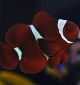 Maroon Clown Fish - Saltwater
