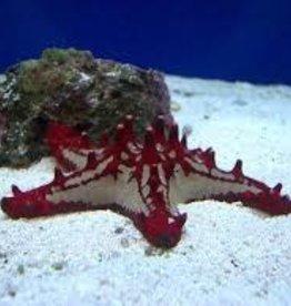 Red Chocolate Chip Starfish - Saltwater